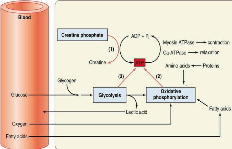 Muscles synthesize ATP in several ways