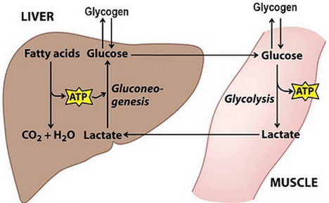 """glycogen """"borrowing"""" from liver and muscles during intensive physical activity"""