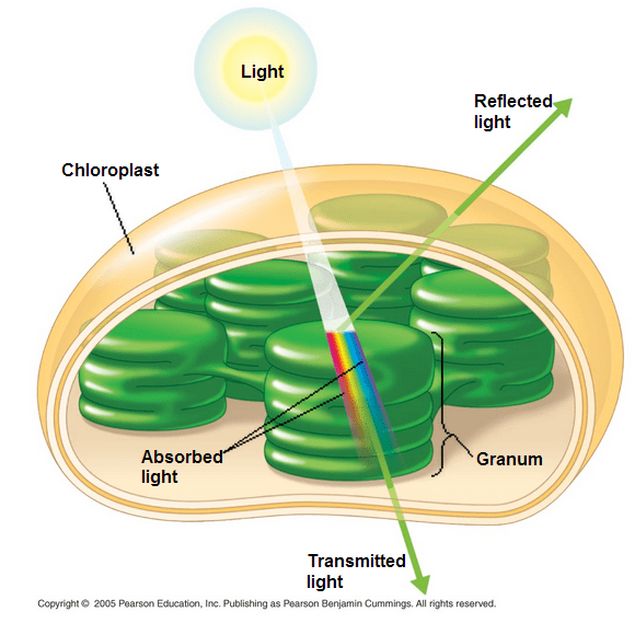 an analysis of cell structure and the green pigment chlorophyll Chlorophyll in plants: benefits, function & definition  the benefits of chlorophyll (the green pigment in  chlorophyll in plants: benefits, function.