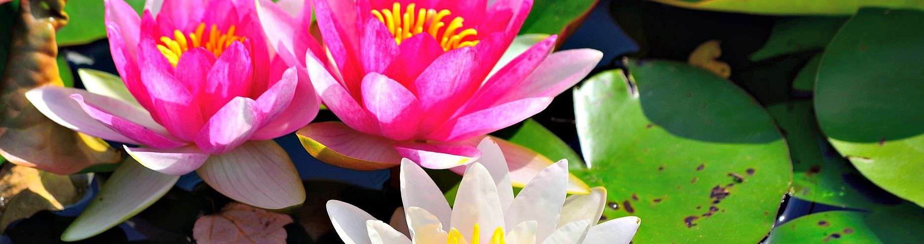 Lotus effect or self cleaning leaves izmirmasajfo