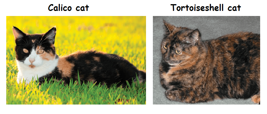 calico and tortoiseshell cats